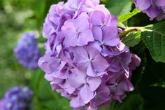 Like the hydrangeas' color, your mood changes with the seasons and your favorite season is summer. You are delicate and contentious about your social circles, real estate, and work environment. Hydrangeas like to drink from their heads, not stems, says Meredith. We'll take that to mean you don't mind a cocktail or two after work.   - HouseBeautiful.com