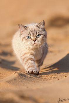 Le British Shorthair est un chat qui est apparu en Grande Bretagne à la fin du 19ème siècle. C'est une race que l'on reconnait facilement de par sa tête et ses yeux très ronds. Ce chat, de taille moyenne à grande, a une allure robuste et puissante, mais tout en rondeur. Le British Shorthair est un chat indépendant, qui aime la liberté et les grands espaces. C'est un chat facile à vivre, au tempérament calme et équilibré. #Croquetteland #race #chat #BritishShorthair #cat #shorthair