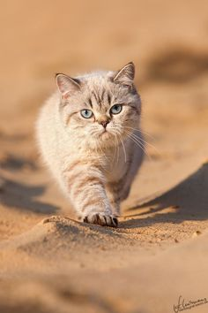 British Shorthair. This is what I want