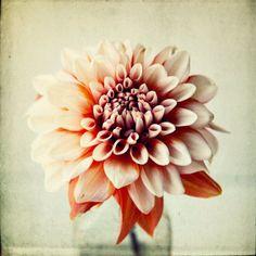 Peachy, 8x8 photograph