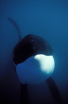 "Photo from Dr. Ingrid Visser's book: ""Swimming With Orca."" Quote: ""This is one of my favourite underwater orca photos. The sub-adult male could see himself in the reflection of the dome of the underwater camera housing. He lay there watching himself, but when I went back to the boat for a new film, he followed me and waited beside it until I returned to the water."""