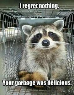 Adorable Raccoon do more than just roam in the trash… They also make funny memes! Raccoon is really a cute animal, isn't it? Check out the funny raccoon meme below that will make you laugh right now. Funny Animal Pictures, Cute Funny Animals, Funny Cute, Funny Photos, Freaking Hilarious, Hilarious Pictures, Animal Pics, Animals And Pets, Baby Animals