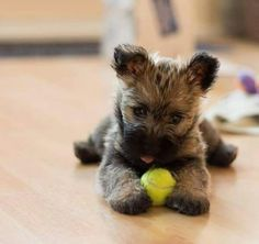 Cairn Terrier puppies are just the CUTEST
