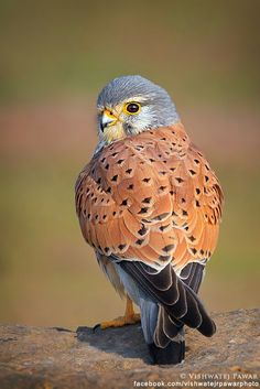 A handsome male Kestrel.