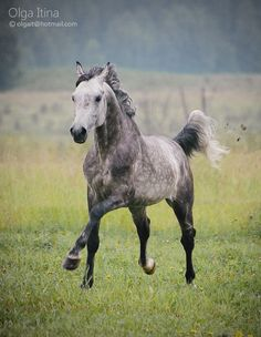 Dapple Grey yearling Arab romping in the pasture. Photography by Olga Itina. #Arabian #Horse #Equine