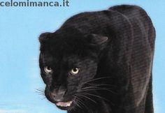 Amici Cucciolotti 2017: Fronte Figurina n. 169 Pantera nera