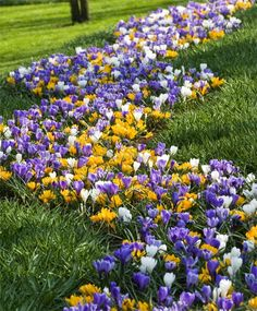 The Large Flowering Crocus Mixture - Large Flowering Crocus - Crocus - Naturalizing - Flower Bulb Index - Z 4-8