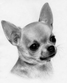Chihuahua Care - 5 Important Issues Every Owner Should Know - Dog Pets Zone Chihuahua Drawing, Chihuahua Tattoo, Chihuahua Puppies, Baby Puppies, Black Chihuahua, Baby Animals, Cute Animals, Gif Animé, Dog Paintings