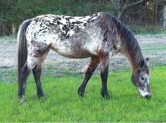 I was a lucky girl to have an Appaloosa Mare growing up - she was a sweet mare, named Appy..similar in coloring
