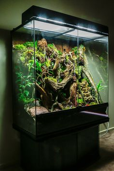 Rainforest Vivarium | Southern Angle Headed Dragon (Hypsilur… | Flickr