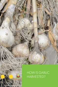 In Canada there is a new push to get more of the garlic we eat produced here in Canada. n this video well see how the family grows harvests & sorts their newest farm crop garlic! Oats Recipes, No Dairy Recipes, Fruit Recipes, Pork Recipes, Vegetable Recipes, Recipes Using Lamb, Mushroom Recipes, Barley Recipes, Bison Recipes