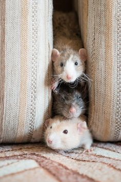 106 Best Three Blind Mice Images In 2017 Three Blind