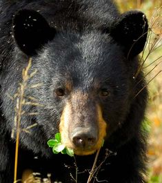 Alabama state mammal:  Black bear