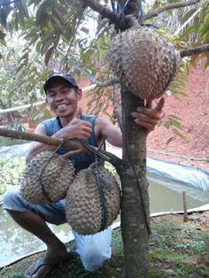 Budidayanya Fruit Flowers, Fruit Plants, Fruit Garden, Bonsai Fruit Tree, Dwarf Fruit Trees, Exotic Fruit, Exotic Plants, Durian Tree, Weird Fruit