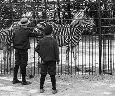 Mesmerised: Two boys peer through the fencing of the zebra enclosure