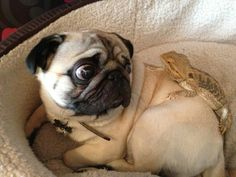 "pugfeed: ""Sidney still isn't sure about his scaly brother! """