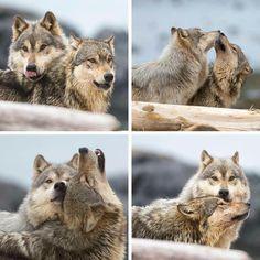 WOLF LOVE !!!