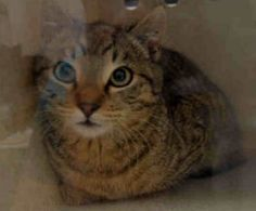 PROVOLONE - A1104234 - - Staten Island  *** TO BE DESTROYED 02/27/17 *** Provolone is an adorable little guy that needs to learn how to trust people. He is not aggressive in the shelter but more nervous. He needs an experienced foster. -  Click for info & Current Status: http://nyccats.urgentpodr.org/provolone-a1104234/