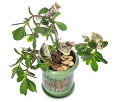 "Buy the royalty-free Stock image ""Potted home plant Crassula with dollar bills in flower"" online ✓ All image rights included ✓ High resolution picture f. Jade, Good Energy, Wisteria, Feng Shui, House Plants, Christmas Diy, Stock Photos, Dollar Bills, Reiki"