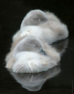 Sleepy cygnets