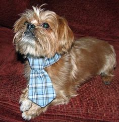 Bruno the yorkie dog is ready to go to work with his new tie on!!!  #puppy #yorkshire terrier www.fetchdogfashions.com