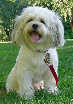 Gipper, the Zuchon (Bichon / Shih-Tzu hybrid), all grown up at 18 months old