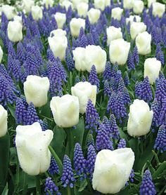 The combination of white tulips and blue muscari is often found in the world's best botanical gardens