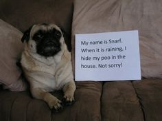 He's just being thoughtful! Picking up wet poo < picking up dry poo. | 23 Photos That Prove Pug Shaming Is The Best Kind Of Dog Shaming