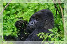 ... recipe rwandan agatogo with collard greens globaltableadventure com