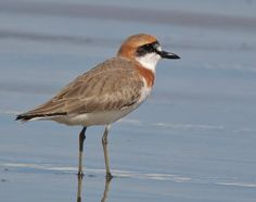 Greater Sand Plover, semi-deserts of Turkey & through Central Asia