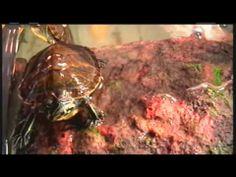 ▶ 55 Gallon Red Eared Slider Turtle Tank - YouTube Happy Little turtles :)
