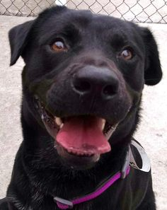 23 Harris is an adoptable Labrador Retriever searching for a forever family near Canton, OH. Use Petfinder to find adoptable pets in your area.