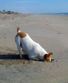 Jack Russell Terrier  I'm digging the best hole EVER existed