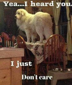 Great Pyrenees standing on a table 😄 Cute Funny Animals, Cute Baby Animals, Dog Pictures, Animal Pictures, Great Pyrenees Dog, White Dogs, New Puppy, Animal Memes, Large Dogs