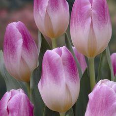 Triumph Tulip Sweety