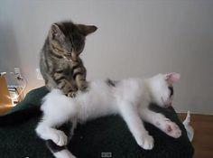 人気記事:【動画】「お客さんこってますニャ」子猫のマッサージ屋さん http://skaihahiroi.blog.fc2.com/blog-entry-482.html…