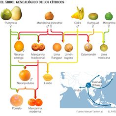 El sabor de las mandarinas nació en un solo árbol