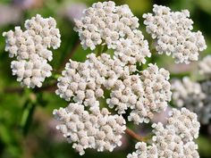 Yarrow is used in teas & powders for fever & cold symptoms; to treat wounds and cuts, stop nosebleeds, loss of appetite, and treating high blood pressure.
