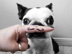 mustache french bulldog