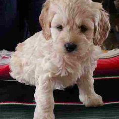 Cockapoo puppy, looks just like baby Charlie!