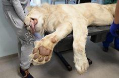 Przychodzi lemur do lekarza, a tu lew ma rezonans... Weterynaria wyczynowa? • IgiMag