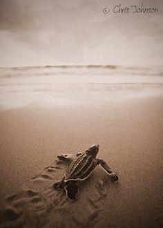 Leatherback Sea Turtle baby