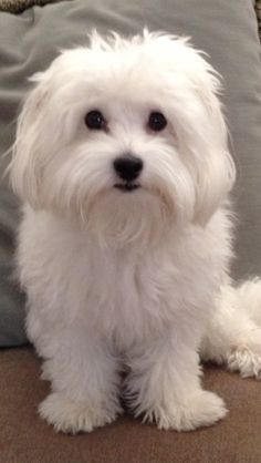Things we respect about the Intelligent Havanese Dogs . The post Things we respect about the Intelligent Havanese Dogs appeared first on Dogs and Diana. Havanese Puppies, Maltese Dogs, Cute Puppies, Dogs And Puppies, Doggies, Maltese Poodle, Coton De Tulear Dogs, Animals And Pets, Cute Animals