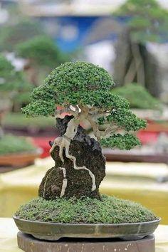 Indoor Bonsai, Bonsai Plants, Bonsai Garden, Bonsai Trees, Ikebana, Mame Bonsai, Plant Art, Yard Design, Back To Nature