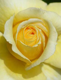pale yellow shrub rose, my favorite flower