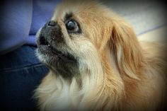 Larry the Pekinese