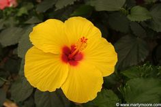Plants of the South West | Hibiscus Plants - Flowering Shrubs for the Desert Southwest Garden ...