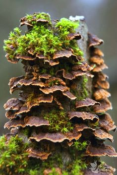 False Turkey Tail (Stereum hirsutus)