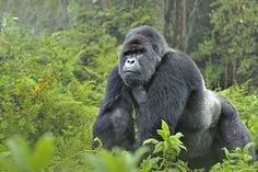 Seeing the Mountain Gorillas in Rwanda. King of the jungle: One of the silverbacks in the Volcanoes National Park...