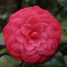 Camellia japonica 'William Forrest Bray'